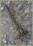 Gomphidae (genre à déterminer)