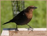 Vacher à tête brune (Brown-headed Cowbird)