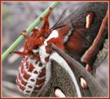 Saturnie cécropia / Cecropia Moth