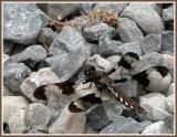 Libellula lydia (femelle) / La lydienne / Common Whitetail (female)