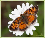 Croissant perlé / Pearl Crescent / Phyciodes tharos tharos
