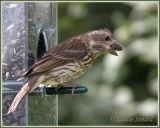 Roselin pourpré (Purple Finch)