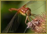 Sympetrum sp. (femelle / female)