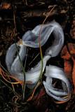 frost flower