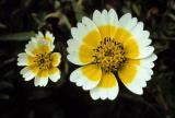 Californian Coastal Wildflowers