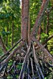 MangroveTree.jpg