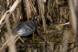 La tortue du marais