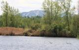Bernaches du Canada devant le mont Brome