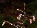 Spring buds, at Peyto Lake