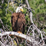 Bald Eagle, near Colter Bay