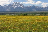 Field of yellow wildflowers, below the Tetons