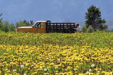 Farmer's van in a field of wildflowers