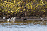 Tricolored Herons, Turkey Vulture and Glossy Ibis