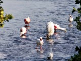 Roseate Spoonbills, White Ibises and a Wood Stork