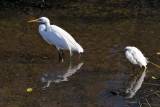 Great and Snowy Egrets