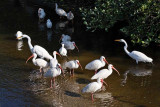 Egrets and Ibises