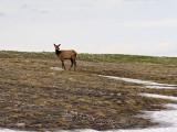 A lone elk above the treeline, on Trail Ridge Road