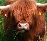 Highland Cow 1.jpg