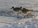 Willets Two.jpg