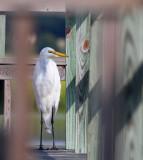 Dock Egret.jpg
