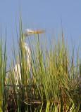Great Egret Reflection 2.jpg