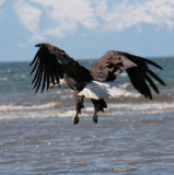 Bald Eagle Flight  2.jpg