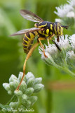 Wasp-mimic Syrphid Fly