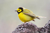 Hooded Warbler (male)