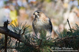 Pale Male (Red-tailed Hawk)