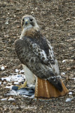 Red-tailed Hawk (Pale Male)