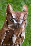 Eastern Screech-Owl (captive)