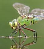 Dragonflies & damselflies - Libellen