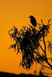 Black-crowned Night Heron silhouette
