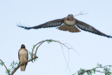 Red-tailed Hawk flying with branch