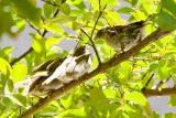 House Sparrow feeding fledglings