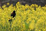 Red-Winged Blackbird in Mustard Field