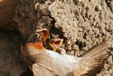 Cliff Swallow Chicks Feeding