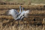 Isenberg Crane Reserve
