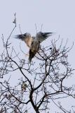 White-tailed Kites copulating 1