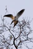White-tailed Kites copulating 2