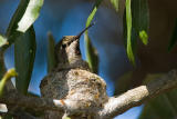 Anna's Hummingbird, female building nest