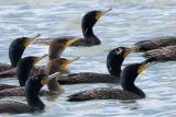 Double-crested Cormorants, breeding plumage