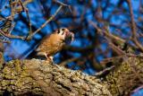 American Kestrel eating vole
