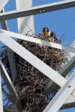 Peregrine Falcon in nest