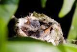 Anna's Hummingbird chicks