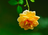 Yellow Rose8514.jpg