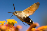 Thirsty-moth-O.jpg