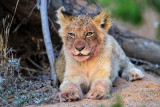 Balule Nature Reserve - Mohlabetsi Safari Lodge