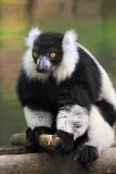 lemur copy.jpg