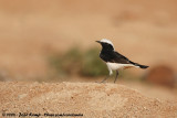 Eastern Mourning WheatearOenathe lugens lugens